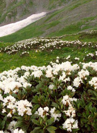 Рододендрон кавказский, Rhododendron caucasicum