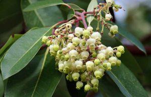 Земляничное дерево красное, Arbutus andrachne