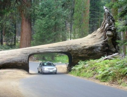 Секвойя, Sequoia