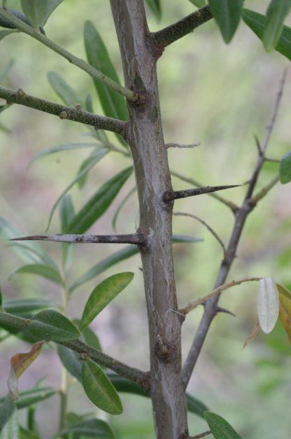 Лох узколистный, Elaeagnus angustifolia