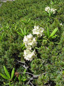 Рододендрон золотистый, Rhododendron aureum и кедровый стланик