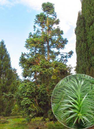 Куннингамия ланцетовидная, Cunninghamia lanceolata