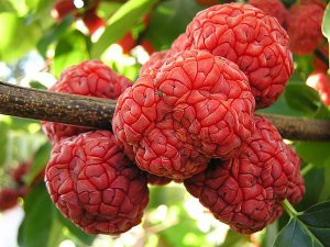 Кудрания триостренная, Cudrania tricuspidata