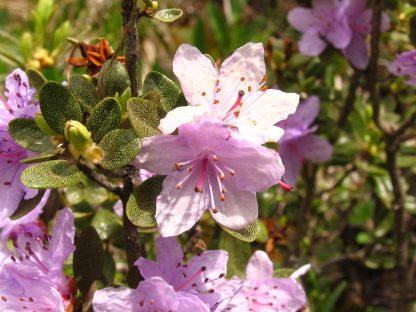 Рододендрон тимьянолисный, Rhododendron thymifolium