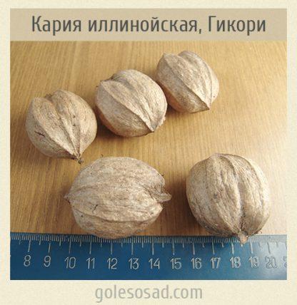 Кария иллинойская, Гикори, Carya illinoinensis