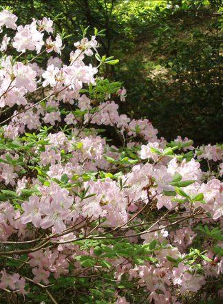 Рододендрон Шлиппенбаха, rhododendron schlippenbachii