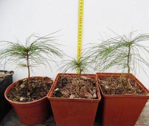 Саженцы (фото за 12.03.2019г), Сосна Веймутова, или белая восточная, Pinus strobus