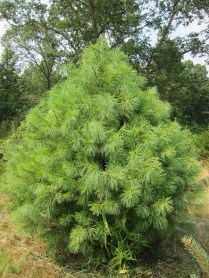 Сосна Веймутова, или белая восточная, Pinus strobus