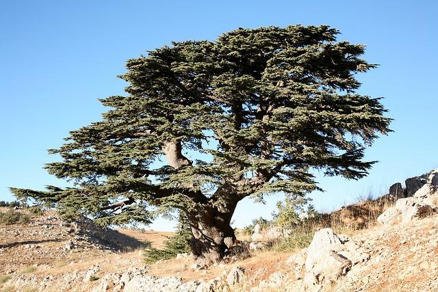ливанский кедр в турции фото ивановскую