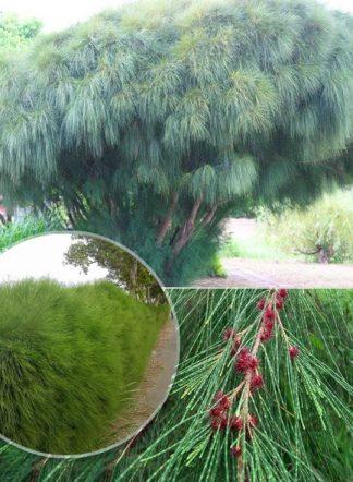 Казуарина, Casuarina equisetifolia