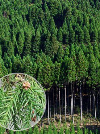Криптомерия, Cryptomeria japonica