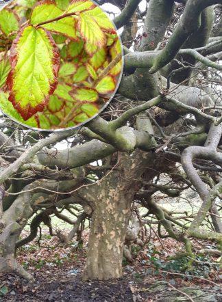 Парротия, Parrotia persica