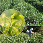 Чай Адыгейский, семена