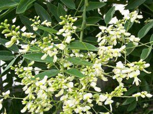 Sophora japonica, Софора японская