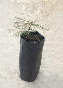 Сосна крымская, Pinus nigra, Саженцы (фото за 26.04.2019г)