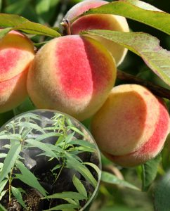Персик морозоустойчивый, Саженцы