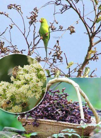 Конфетное дерево, Hovenia dulcis