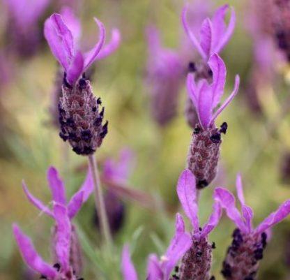Лаванда черешчатая, Lavandula pedunculata