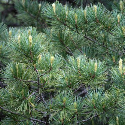 Кедр европейский, Pinus cembra