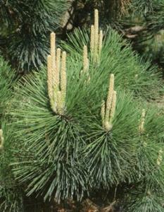 Сосна Тунберга, Pinus thunbergii