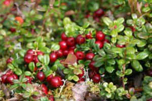 """Брусника """"Коралл"""", Vaccinium vitis-idaea Koralle"""
