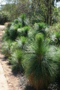 Сосна болотная, сосна длиннохвойная, Pinus palustris