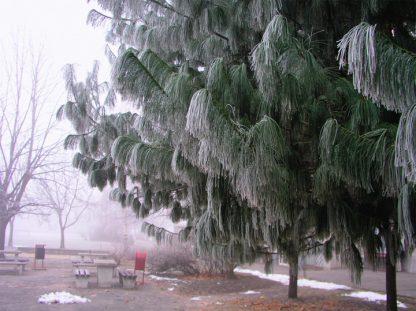 Сосна гималайская, Pinus wallichiana