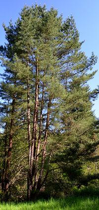 Сосна красная японская, Сосна густоцветная, Pinus densiflora