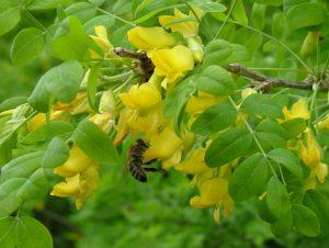 Карагана, Желтая акация