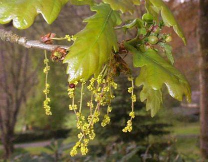 Дуб скальный, Quercus petraea