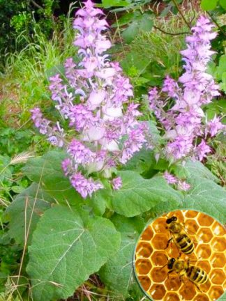 Шалфей мускатный, Salvia sclarea