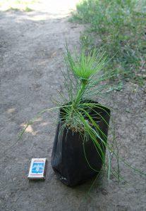 Сосна Юньнаньская, Pinus yunnanensis,