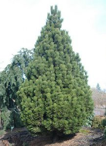 Сосна боснийская, Pinus heldreichii