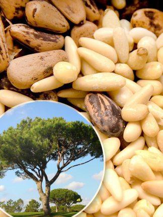 Pinus pinea, Сосна итальянская Пиния
