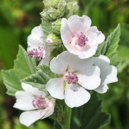 Алтей лекарственный, Althaea officinalis