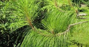 Сосна юньнаньская, pinus yunnanensis