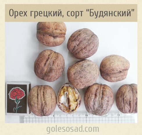 """Грецкий орех, очень крупный, сорт """"Будянский"""""""
