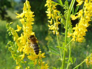 Melilotus officinalis, Донник желтый