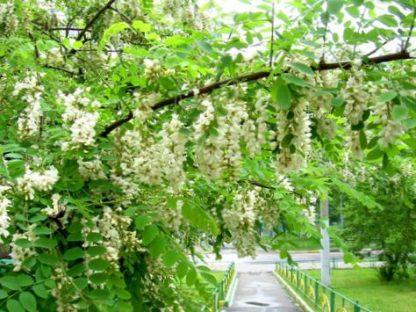 Акация белая, Robinia pseudoacacia