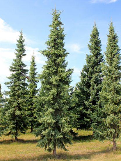 Ель черная, Picea mariana