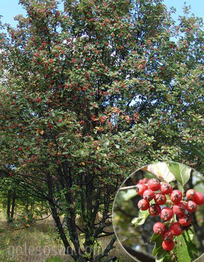 Рябина круглолистная (лат. Sorbus aria), или ария