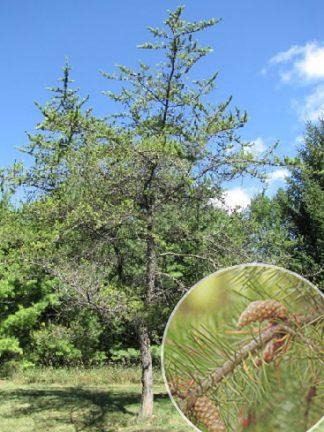Сосна Банкса, Pinus banksiana