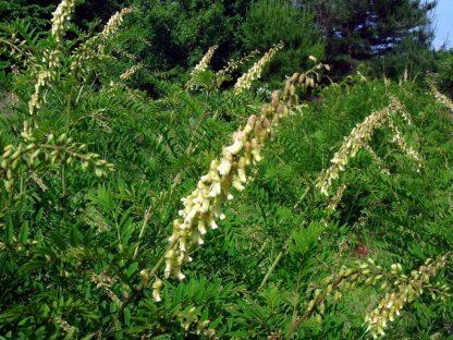 Софора желтоватая или узколистная