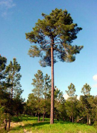 Сосна приморская, Pinus pinaster