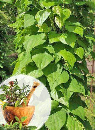 Диоскорея кавказская, Dioscorea caucasica