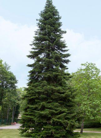 Пихта кавказская, Abies Nordmanniana