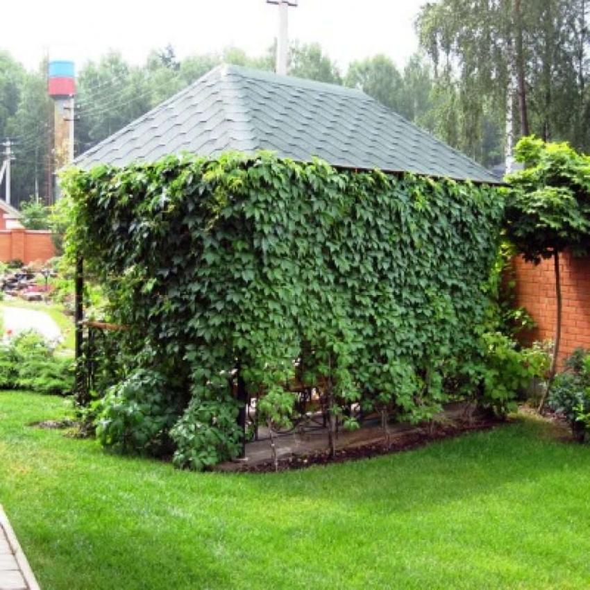 Виноград девичий пятилисточковый, виргинский, Parthenocissus quinquefolia
