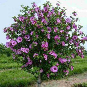 Гибискус сирийский, розовый