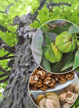 Кария бахромчатая, Carya laciniosa