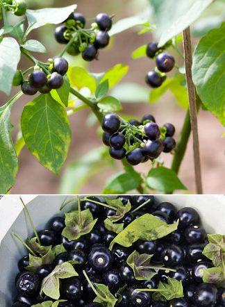 Сараха овощная, Jaltomata procumbens